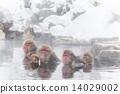 日本獼猴 溫泉 冬 14029002