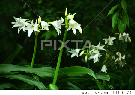 인도 문주란 꽃 14116374