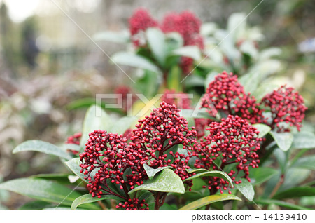 skimmia, cute, flowering plant 14139410