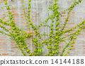 ivy, wall, plant 14144188
