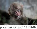 猴子吃餌 14179687