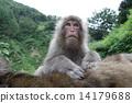 上司猴子佩帶的修飾 14179688