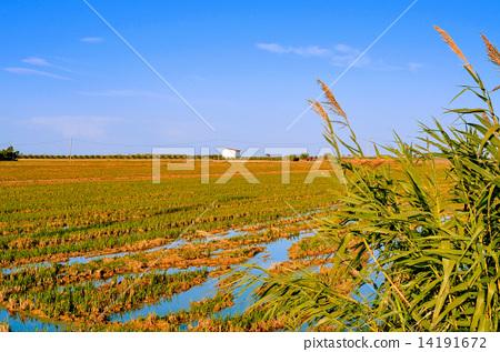 paddy field in Delta del Ebro, in Catalonia, Spain 14191672