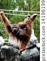 Orangutan in the safari park Indonesia 14196199