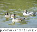 稲毛海浜公園の池で泳ぐ冬の渡り鳥オナガガモのメス2羽とオス1羽 14256317
