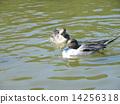 稲毛海浜公園の池で泳ぐ冬の渡り鳥オナガガモの番 14256318