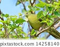 white-bellied, green, pigeon 14258140