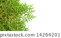 Green cypress tree on isolated background, macro   14264201