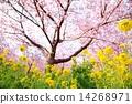 kawaji sakura, cherry blossom, rape 14268971