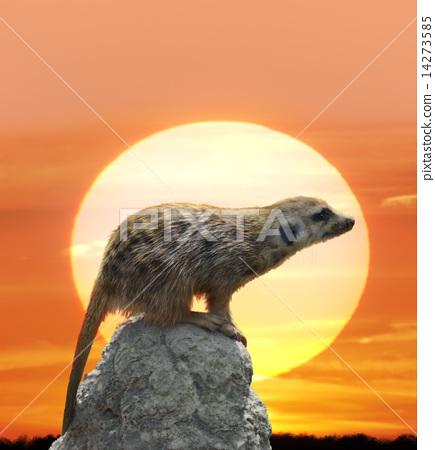Meerkat Against  Sunset 14273585