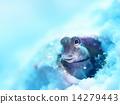條紋蛙鳚(魚名) 熱帶魚 淺斑梳齒粘魚 14279443