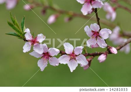 Peach blossoms 14281033