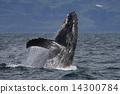 座頭鯨 美國 跳 14300784