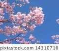 Kawazuzakura flowers in front of JR Inage Coastal Station 14310716