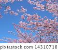 Kawazuzakura flowers in front of JR Inage Coastal Station 14310718