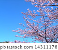 Peach colored flower of Kawazuzakura in front of JR Inage Coastal Station 14311176