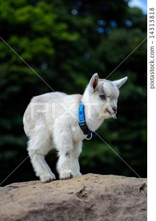 Goat's portrait 14313818