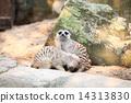 Meerkat in a Dusit Zoo,Bangkok Thailand. 14313830