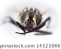 HouseFly Magnification 14323066