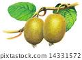 奇異果 水果 14331572