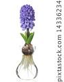 Hyacinth 14336234