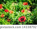 flower, bed, poppy 14338792