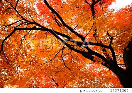 枫树 枫叶 红枫 14371363
