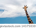 neck, giraffe, blue 14375030