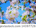 floral spring background blossoming of apple tree with white red 14397726