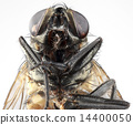 House Fly Portrait 14400050