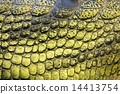 skin, Gavial, crocodile 14413754