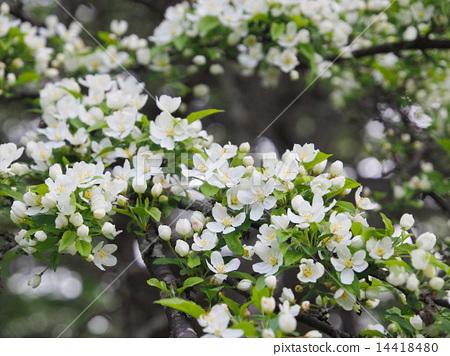 高梨 花朵 花卉 14418480