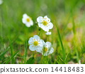 Flowers of white flower strawberry 14418483