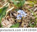 gentiana thunbergii, bloom, blossom 14418484