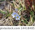 gentiana thunbergii, bloom, blossom 14418485