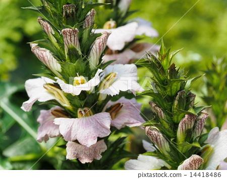 akantsusu-montanus, bloom, blossom 14418486