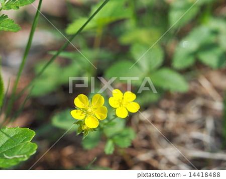 蛇莓 花朵 花卉 14418488