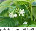 Raspberry Flower 14418490