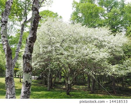 ดอกไม้ของโคนาชิ 14418533