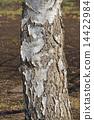 桦木(白桦) 14422984