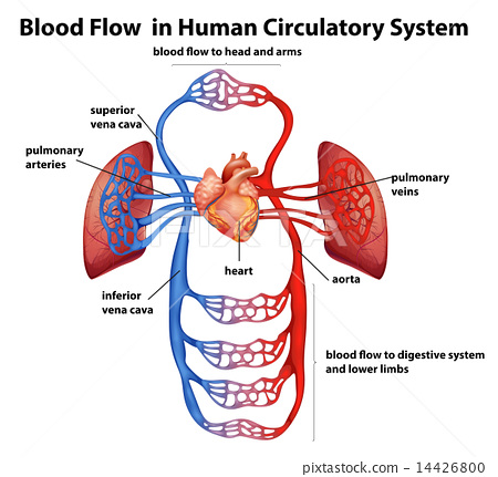 Blood flow in human circulatory system 14426800