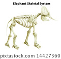 Skeletal System of an Elephant 14427360