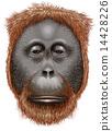 An orangutan 14428226