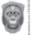 A head of an orangutan 14428610