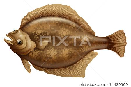 Psettodes Erumei Flounder 14429369