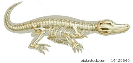 Crocodile skeletal system 14429640