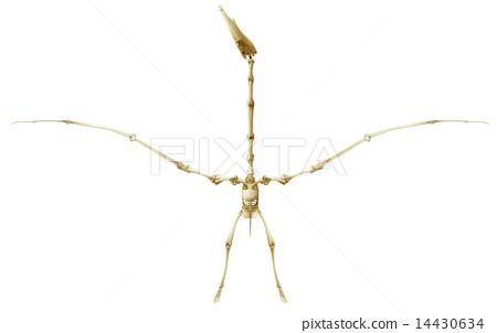 Pterodactyl skeleton 14430634