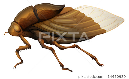 Cicadidae 14430920