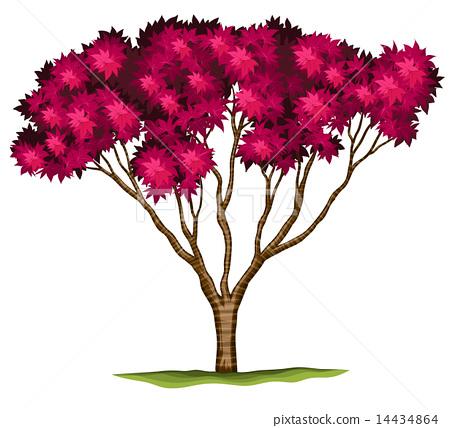 A bloodgood Japanese maple plant 14434864