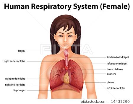 Human Respiratory System Stock Illustration 14435290 Pixta